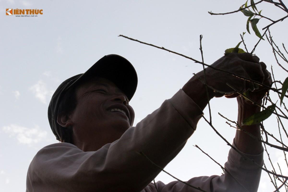 Anh: Hoa dao no som trong nang dong tuyet dep o HN-Hinh-13