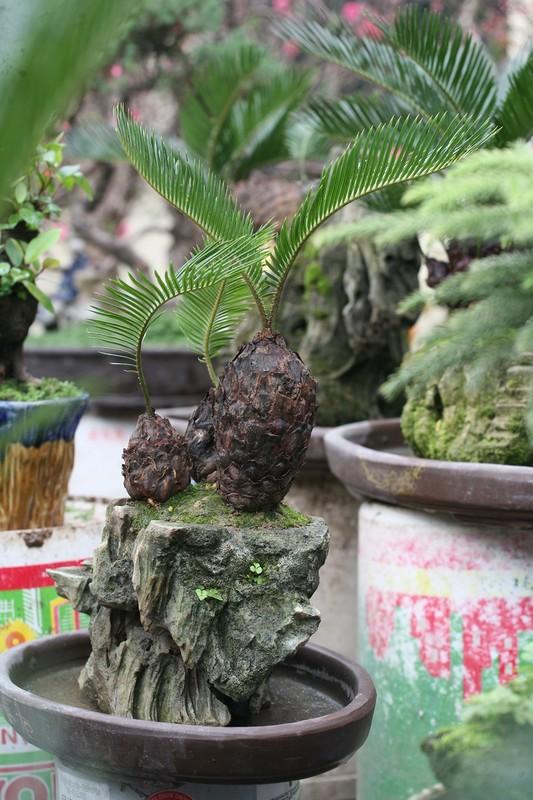 Van tue bonsai choi Tet co truyen gia ca chuc trieu dong/chau-Hinh-2