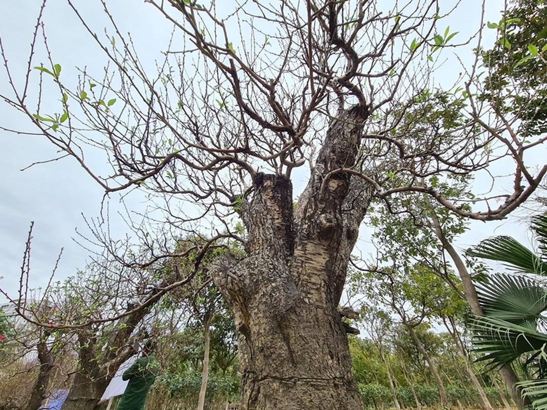 Dao khung gia 100 trieu xuong pho Ha Noi cho khach mua choi Tet-Hinh-8
