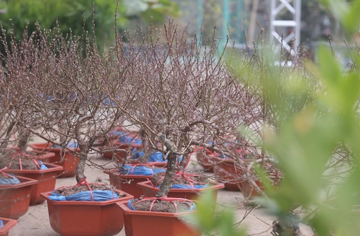 "Nguoi dan Ha Noi ""tranh nhau"" mua cay canh o cho hoa Van Phuc-Hinh-8"