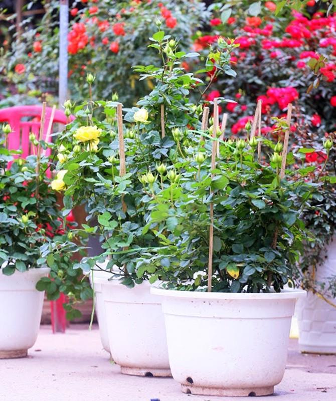 Hoa hong du mau sac so, gia 500 nghin dong/chau hut khach choi Tet-Hinh-4