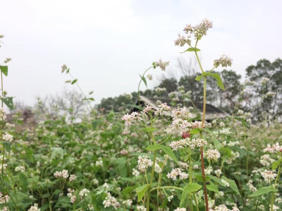 Bat ngan hoa tam giac mach dep mo mang giua long Ha Noi-Hinh-4