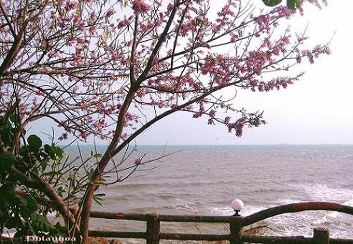 Ngam cung duong hoa anh dao tuyet dep tai Vung Tau-Hinh-10