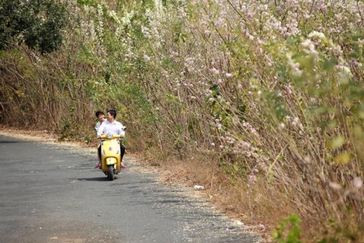 Ngam cung duong hoa anh dao tuyet dep tai Vung Tau-Hinh-8