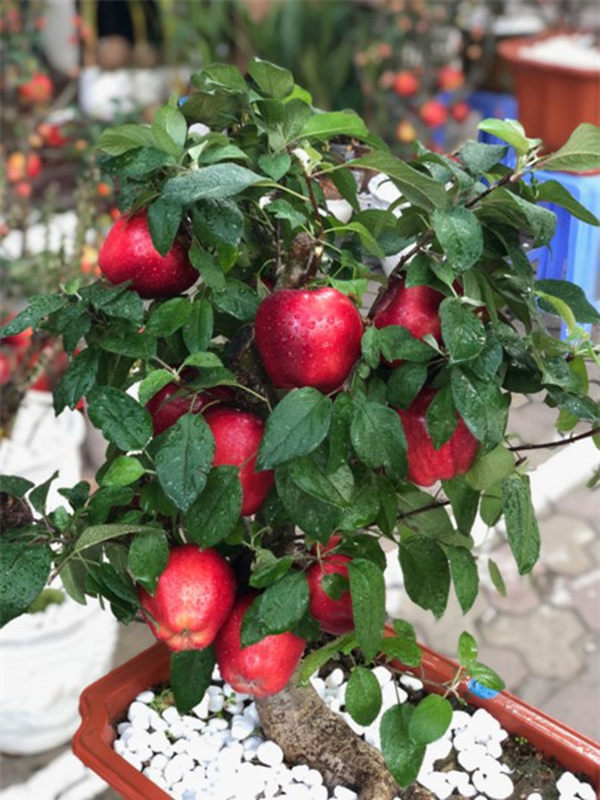 Sieu pham chi co o cho ngay Tet: Tao bonsai tren cay dam but-Hinh-9