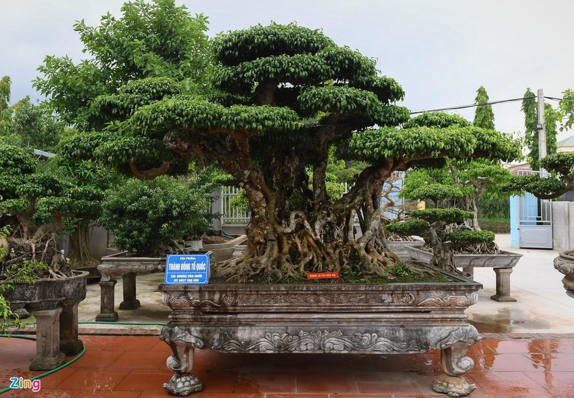 Cay sanh 200 nam tuoi o Ha Noi-Hinh-2