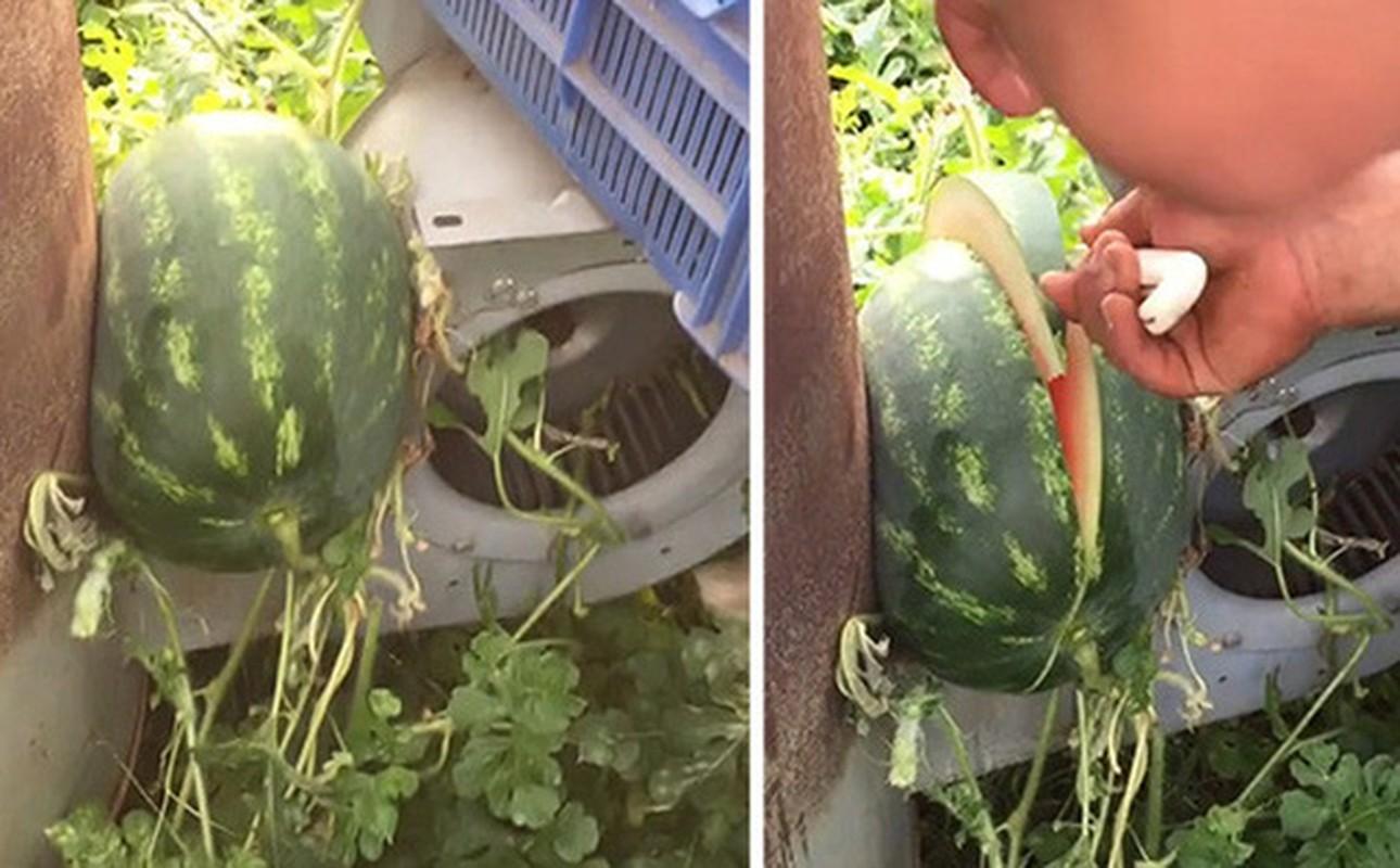 Mọc ngang trái, quả dưa hấu khiến chủ vườn đau đầu tìm cách thu hoạch