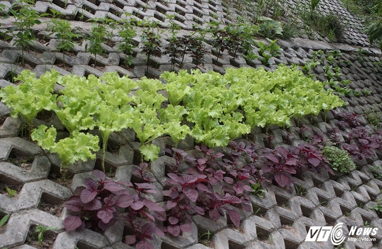 Vuon rau xanh trong hoc be tong doc nhat vo nhi o Ha Noi-Hinh-6