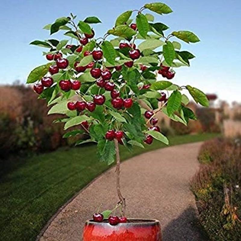 Me tit nhung chau bonsai cherry dep hut mat-Hinh-2