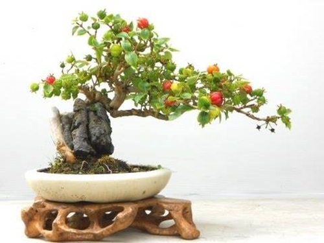 Me tit nhung chau bonsai cherry dep hut mat-Hinh-3