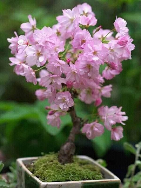 Me tit nhung chau bonsai cherry dep hut mat-Hinh-4