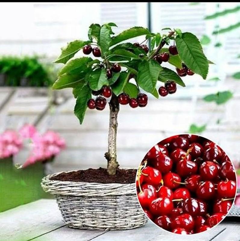 Me tit nhung chau bonsai cherry dep hut mat-Hinh-5