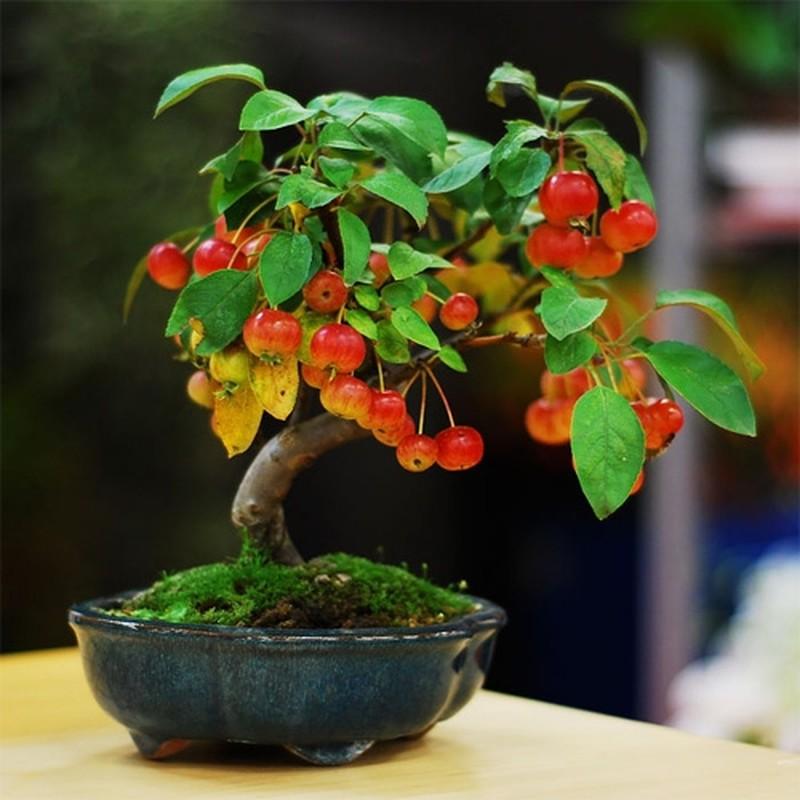 Me tit nhung chau bonsai cherry dep hut mat-Hinh-6