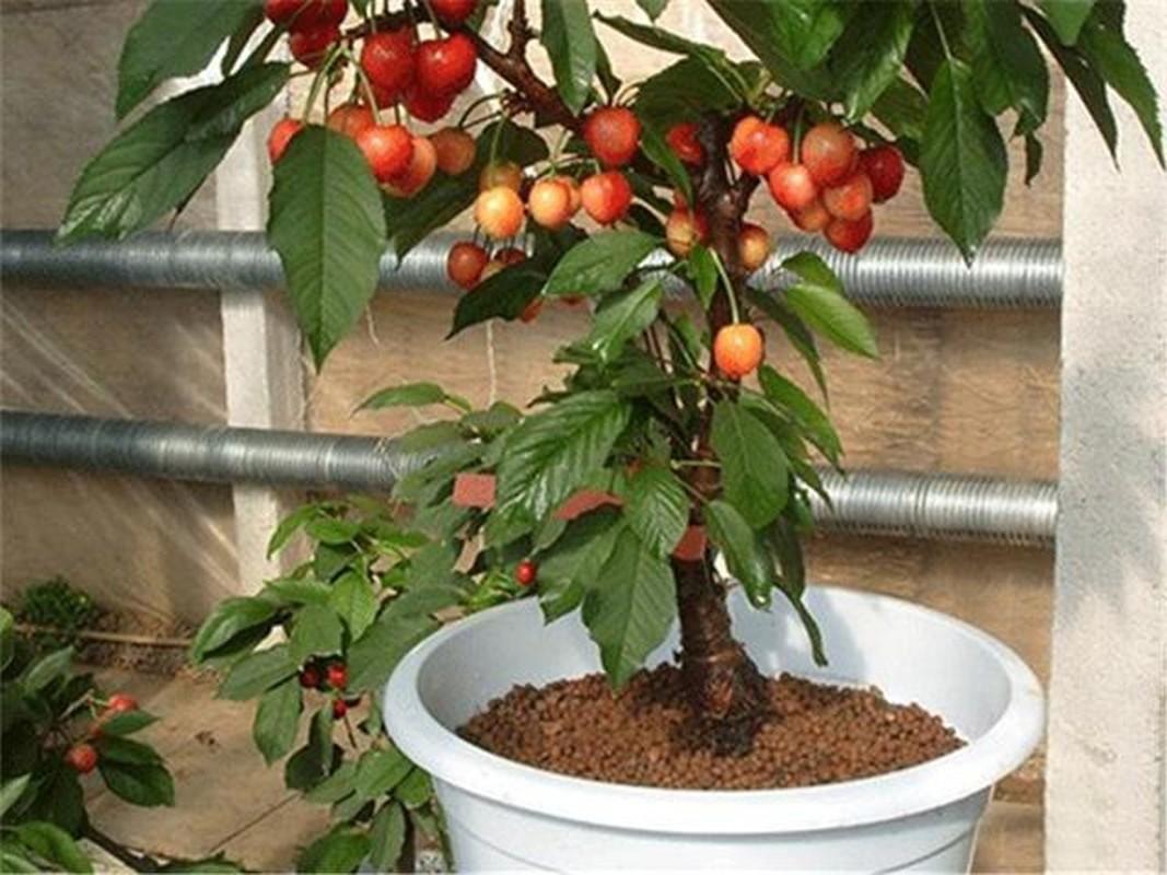 Me tit nhung chau bonsai cherry dep hut mat-Hinh-7