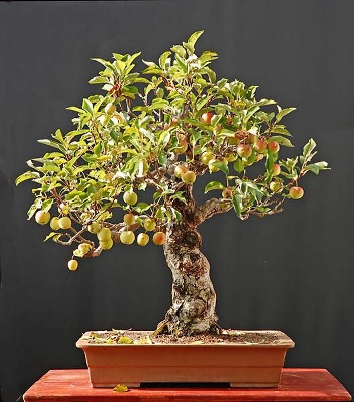 Me tit nhung chau bonsai cherry dep hut mat-Hinh-8