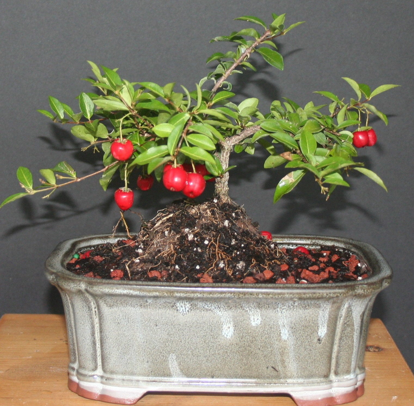 Me tit nhung chau bonsai cherry dep hut mat