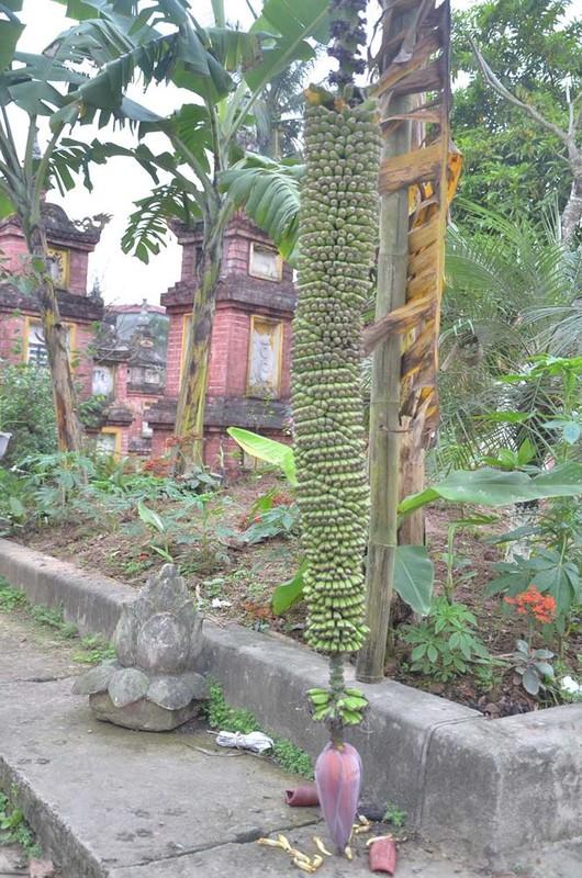 Kinh ngac nhung buong chuoi nghin qua cua nong dan Viet-Hinh-5