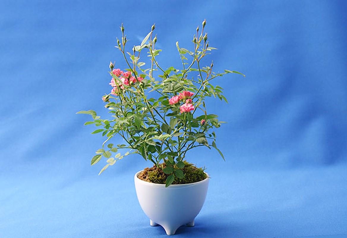 Me tit loat bonsai hoa Nhat Ban sieu dep-Hinh-10