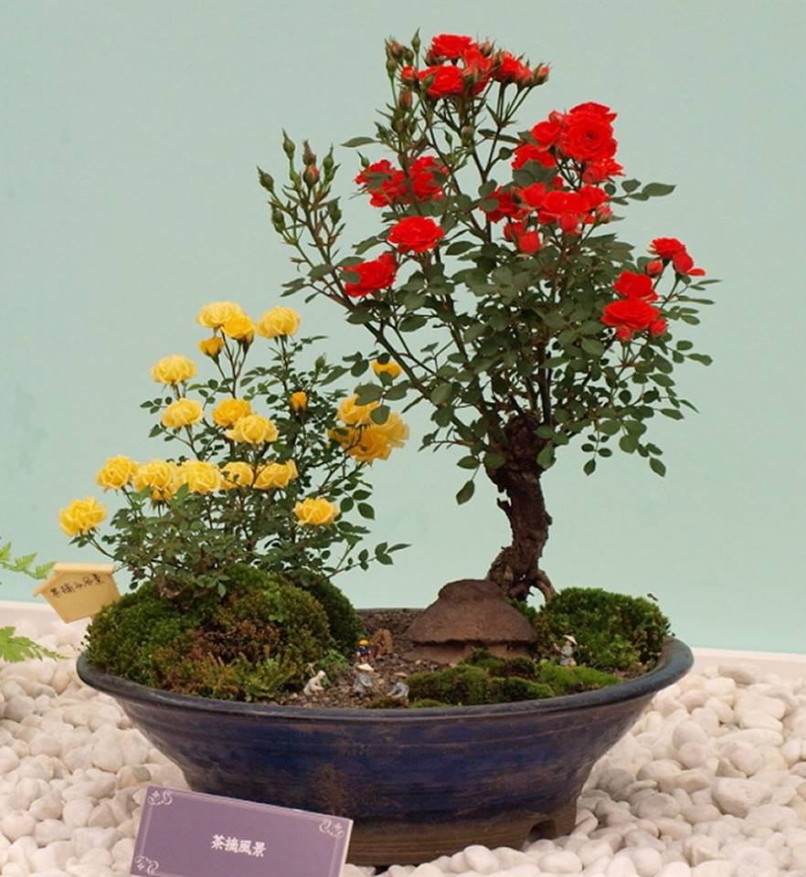 Me tit loat bonsai hoa Nhat Ban sieu dep-Hinh-2