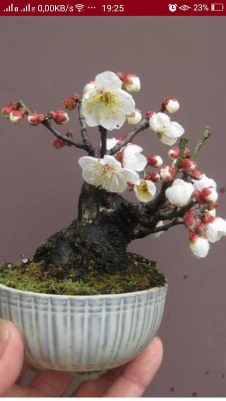 Me tit loat bonsai hoa Nhat Ban sieu dep-Hinh-3