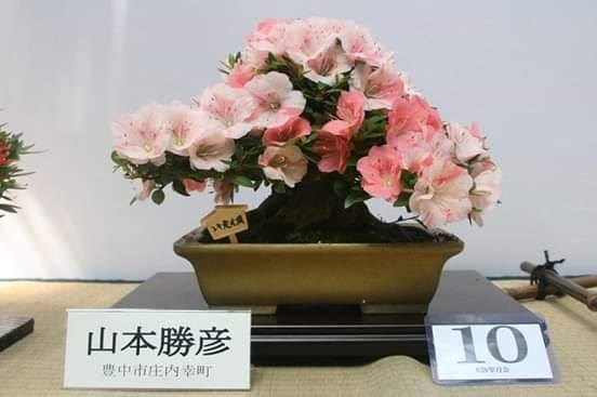 Me tit loat bonsai hoa Nhat Ban sieu dep-Hinh-4