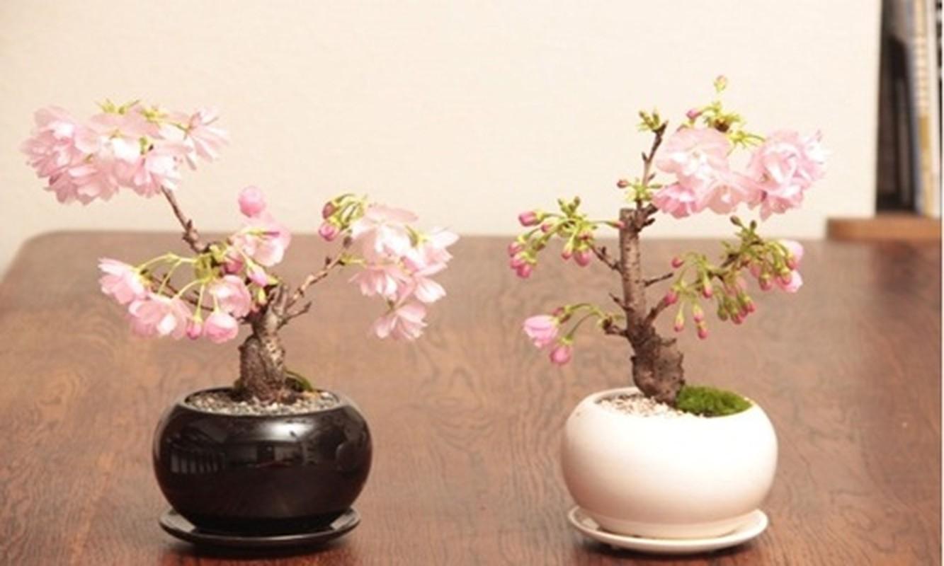 Me tit loat bonsai hoa Nhat Ban sieu dep-Hinh-7