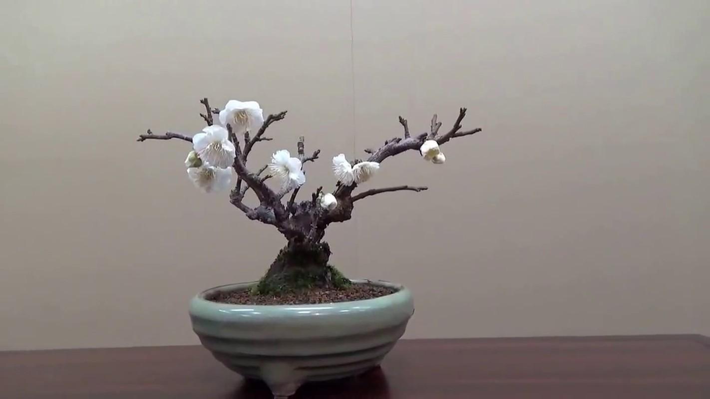 Me tit loat bonsai hoa Nhat Ban sieu dep-Hinh-8