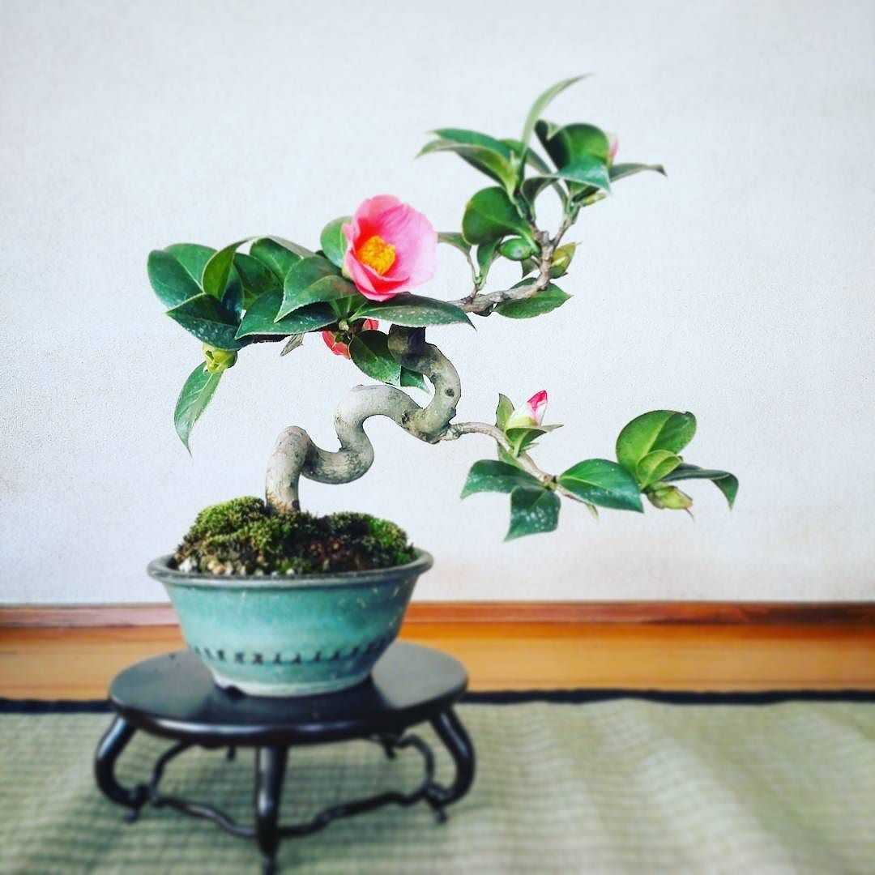 Me tit loat bonsai hoa Nhat Ban sieu dep-Hinh-9
