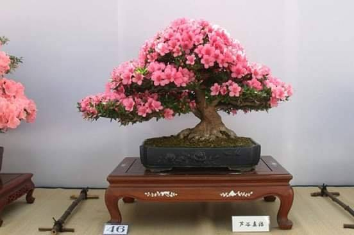 Me tit loat bonsai hoa Nhat Ban sieu dep