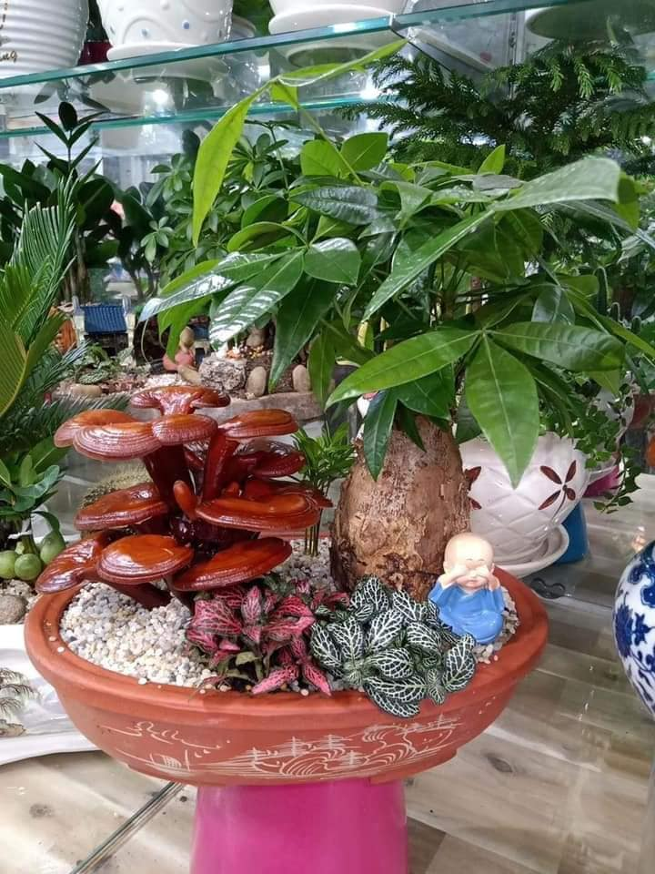 Chan cay canh, dai gia san nam linh chi bonsai doc dao choi Tet-Hinh-5