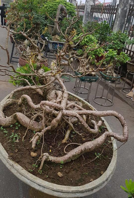 Loat bonsai dang quai, gia ca ty dong khien dai gia me met-Hinh-7