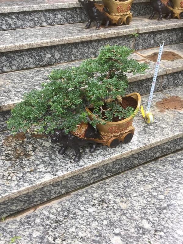 Man nhan loat bonsai hinh trau choi Tet 2021-Hinh-5