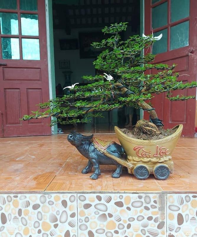 Man nhan loat bonsai hinh trau choi Tet 2021-Hinh-6