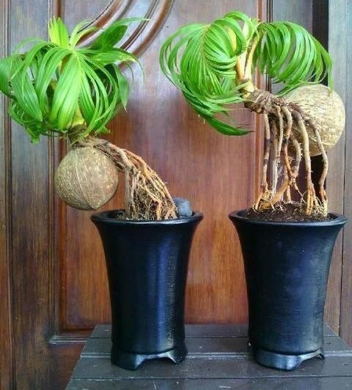 Me man loai bonsai duoc ua chuong dip Tet, khach phai dat truoc nua nam-Hinh-4