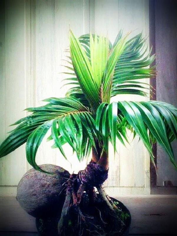 Me man loai bonsai duoc ua chuong dip Tet, khach phai dat truoc nua nam-Hinh-5
