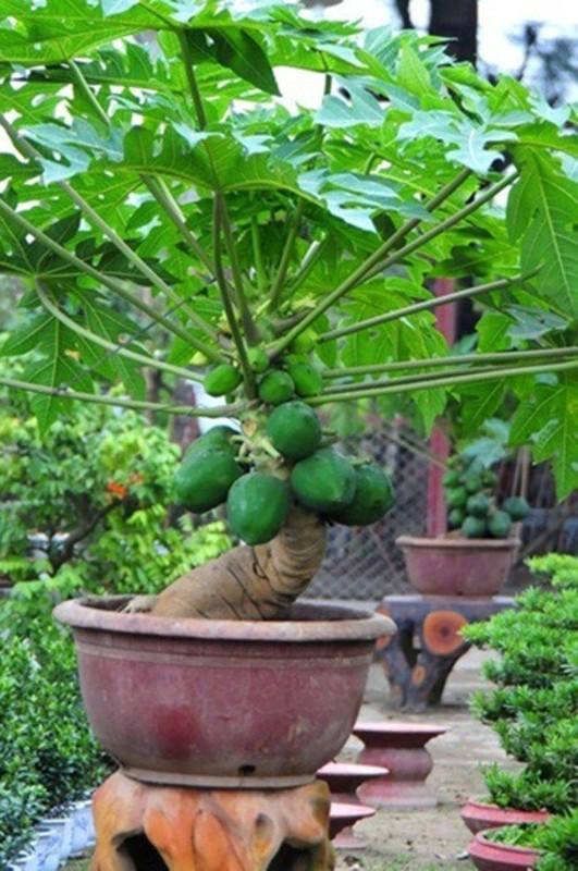 Man nhan du du bonsai chi chit qua, dai gia lung mua choi Tet-Hinh-10