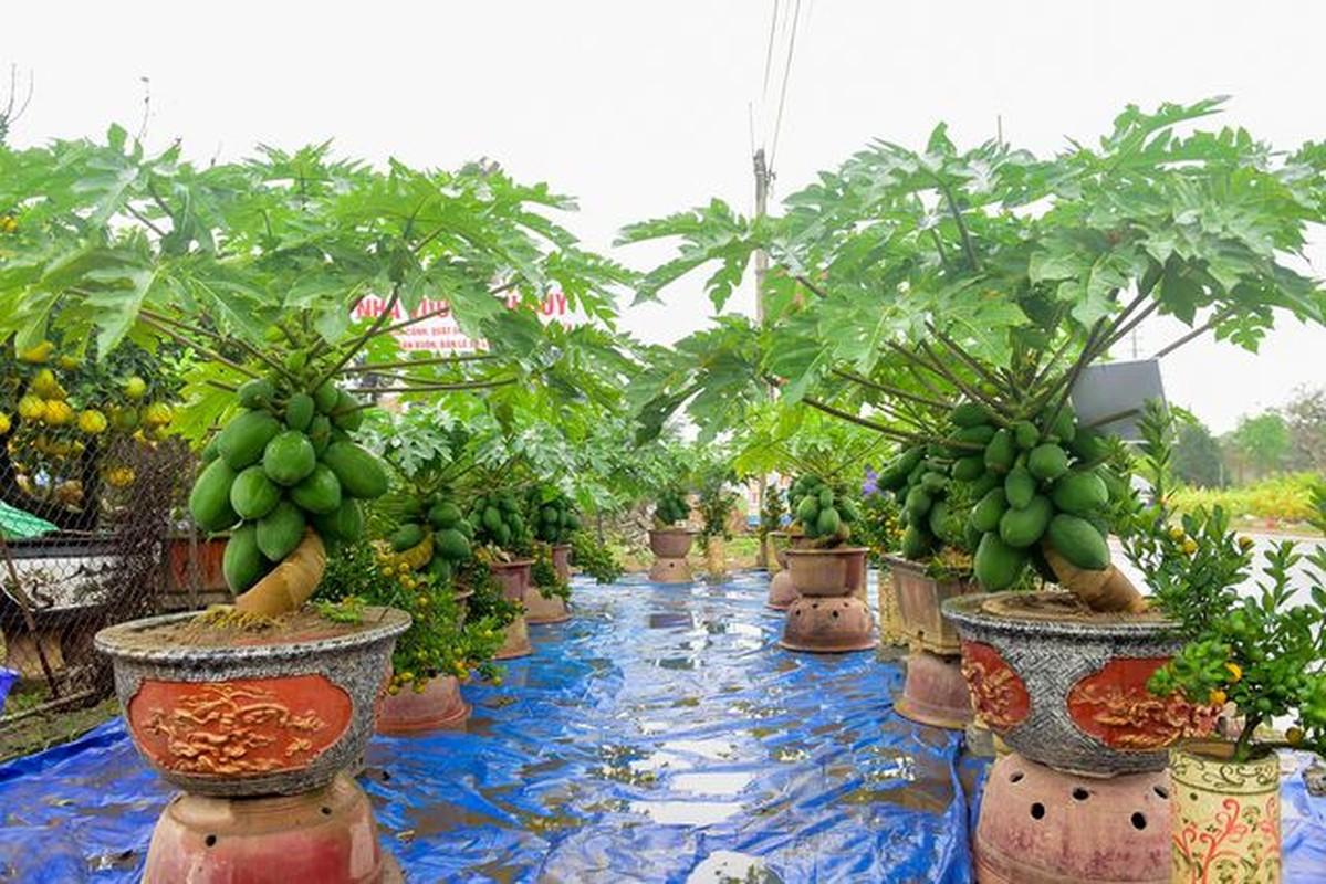 Man nhan du du bonsai chi chit qua, dai gia lung mua choi Tet-Hinh-2