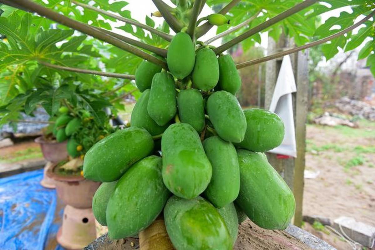 Man nhan du du bonsai chi chit qua, dai gia lung mua choi Tet-Hinh-3