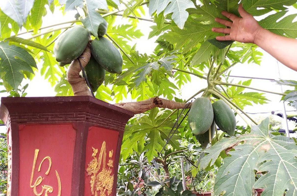 Man nhan du du bonsai chi chit qua, dai gia lung mua choi Tet-Hinh-5