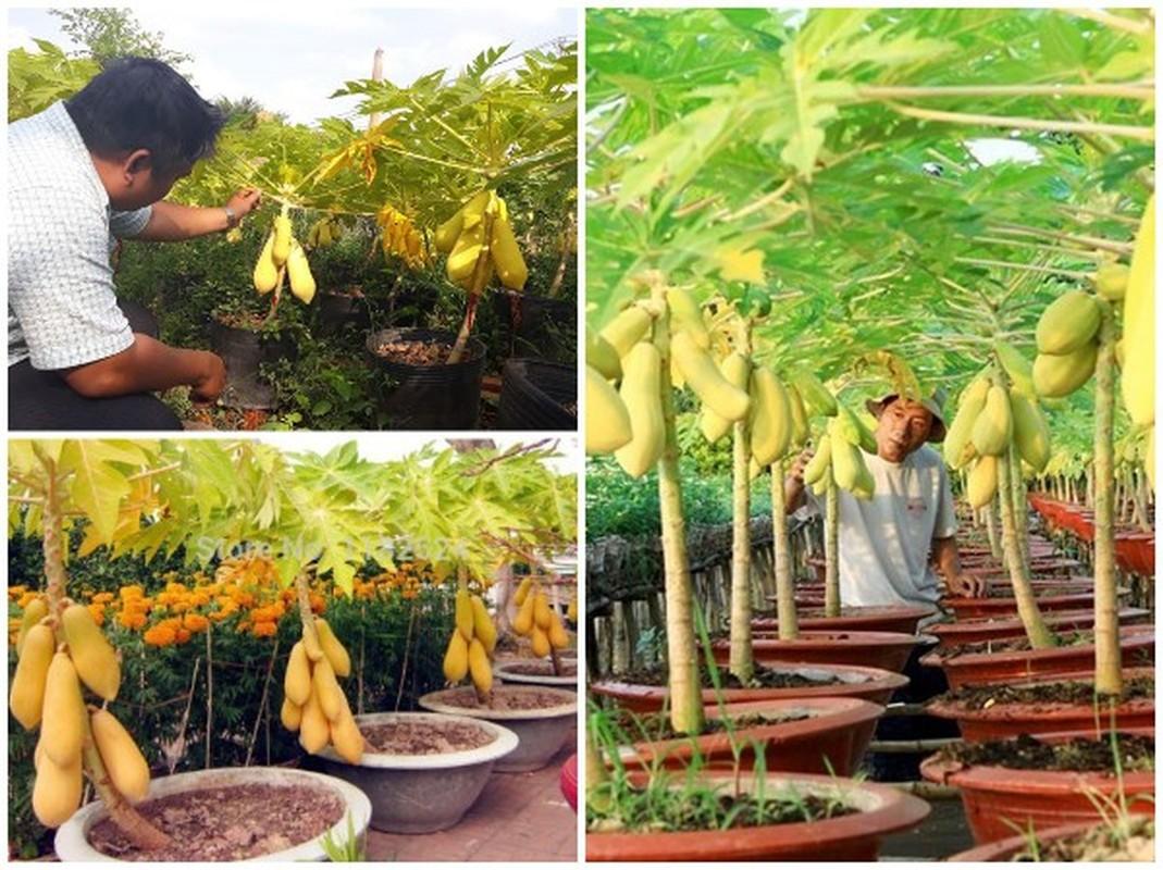 Man nhan du du bonsai chi chit qua, dai gia lung mua choi Tet-Hinh-6