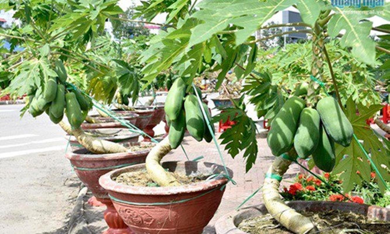Man nhan du du bonsai chi chit qua, dai gia lung mua choi Tet-Hinh-8