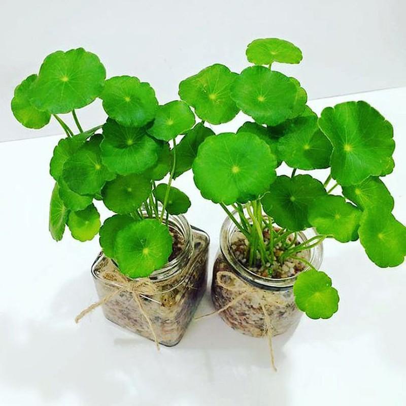 Ngo ngang loat cay dai thanh bonsai choi Tet-Hinh-10