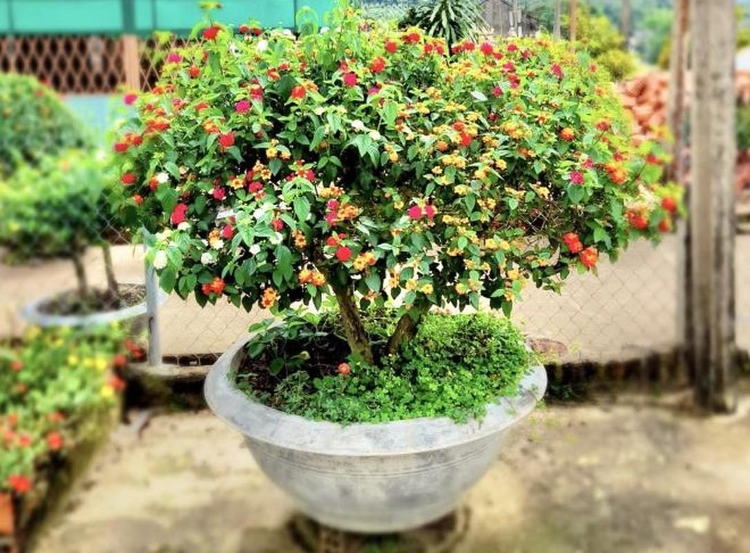 Ngo ngang loat cay dai thanh bonsai choi Tet-Hinh-2