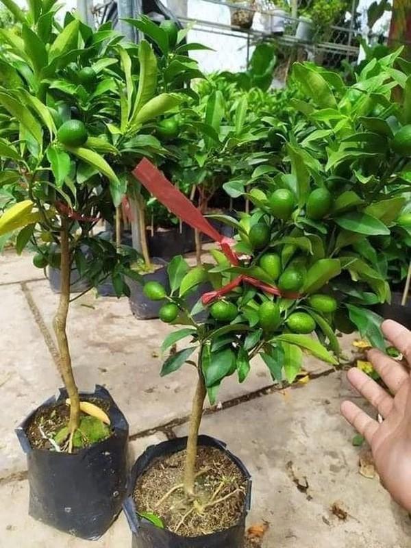 """Doc dao quat My bonsai gia """"chat"""" hut khach choi Tet-Hinh-2"""
