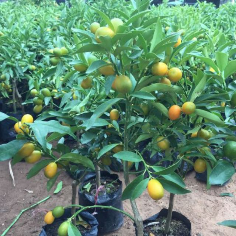 """Doc dao quat My bonsai gia """"chat"""" hut khach choi Tet-Hinh-8"""