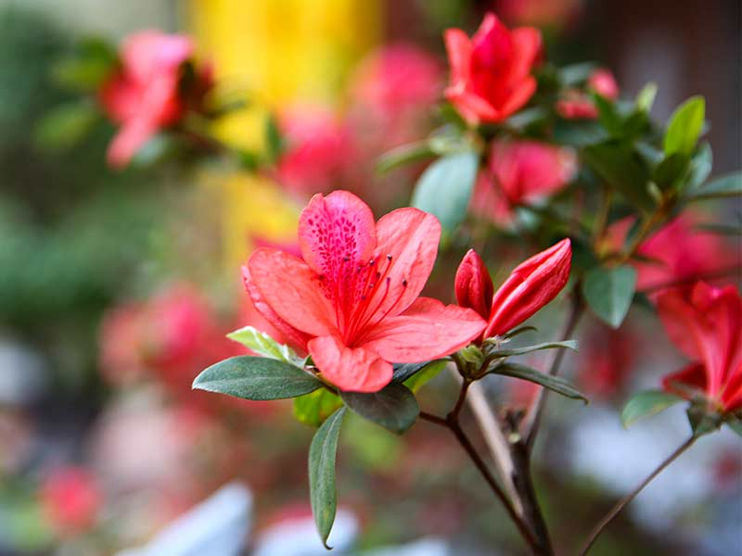 Y nghia 10 loai hoa dep chung trong nha vao ngay Tet-Hinh-7