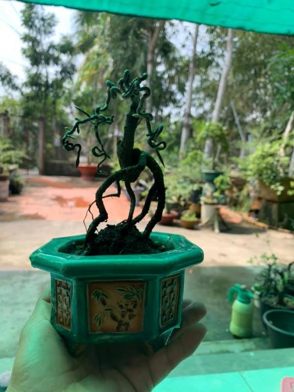 Bonsai ti hon quat, sung, dao...gia mem, hut khach dip Tet-Hinh-4