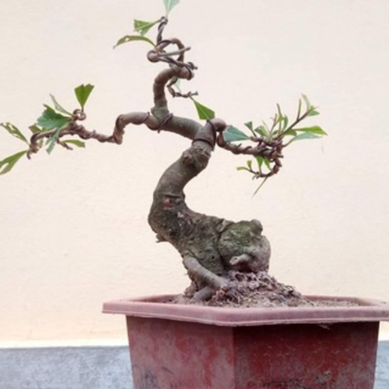 Bonsai ti hon quat, sung, dao...gia mem, hut khach dip Tet-Hinh-5