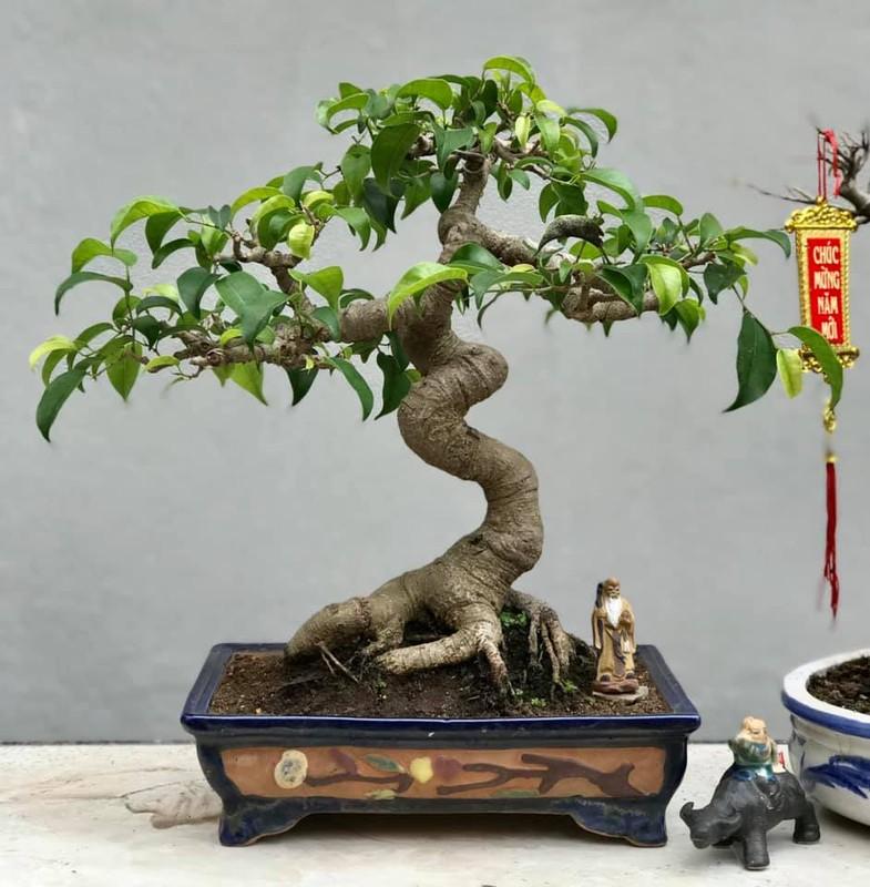 Bonsai ti hon quat, sung, dao...gia mem, hut khach dip Tet-Hinh-7