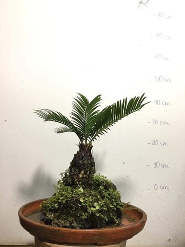 Bonsai van tue mini dep, doc, la hut khach choi Tet-Hinh-7